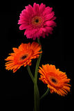 与词根的桃红色和橙色大丁草在黑背景 图库摄影