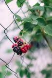 与词根选择聚焦的黑莓莓果在庭院里 免版税库存照片