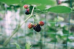 与词根选择聚焦的黑莓莓果在庭院里 库存图片