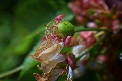与详细附属的摧毁的开花的绿色未成熟的更加多雨的樱桃莓果,宏指令接近与在backgr弄脏的树枝 图库摄影