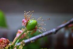 与详细附属的摧毁的开花的绿色未成熟的更加多雨的樱桃莓果,宏指令接近与在backgr弄脏的树枝 免版税图库摄影