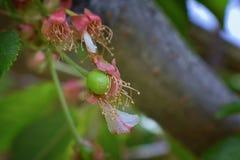 与详细附属的摧毁的开花的绿色未成熟的更加多雨的樱桃莓果,宏指令接近与在backgr弄脏的树枝 免版税库存照片