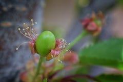 与详细附属的摧毁的开花的绿色未成熟的更加多雨的樱桃莓果,宏指令接近与在backgr弄脏的树枝 库存图片