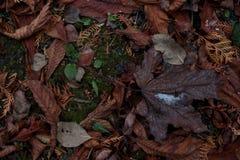 与说谎在下落的叶子和绿色青苔地毯的一片棕色枫叶的背景  库存照片