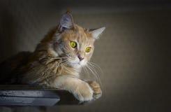 与说谎在机架的巨大的黄色眼睛的大红色猫品种缅因浣熊 图库摄影