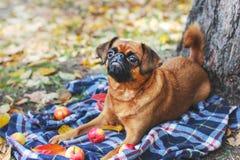 与说谎在树下的栗子颜色的小Brabancon狗  免版税库存照片