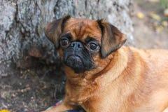 与说谎在树下的栗子颜色的小Brabancon狗  库存照片