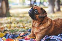与说谎在毯子的栗子颜色的小Brabancon狗  免版税库存照片