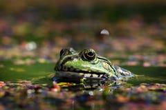 与调查摄象机镜头的湖的青蛙 免版税库存照片