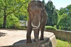 与象牙的大大象 库存图片
