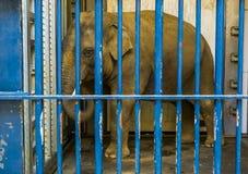 与象牙的笼中的男性亚洲大象,大象关在监牢里,动物在囚禁 库存照片