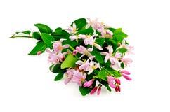 与豪华桃红色的花的忍冬属植物 图库摄影