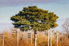 与豪华的冠特写镜头的杉木在蓝天背景 秋天横向 库存图片