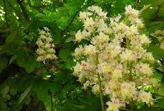 与豪华的绿色叶子对比的明亮的栗子花 库存图片