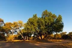 与豪华的绿色金合欢树森林在克留格尔国家公园,在南部A的著名旅行目的地的风景和五颜六色的风景 免版税库存图片