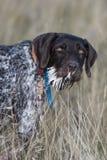 与豪猪纤管满嘴的一只猎犬  免版税图库摄影