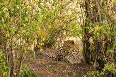 与豹子的风景 免版税库存照片