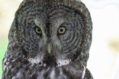 与贯穿的眼睛的巨大灰色猫头鹰 库存图片