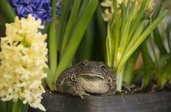 与贵重金黄眼睛的蟾蜍青蛙在春天开花的风信花和黄水仙中开花 免版税库存照片