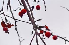 与赤红的树枝 库存照片