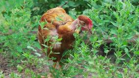与赤裸脖子在绿草中,特写镜头,哺养在农场的鸡的布朗母鸡 股票录像