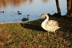 与赤褐色羽毛的幼小天鹅临近池塘 免版税库存照片