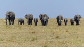 与走在一条直线的崽的十头大象面对照相机 库存图片