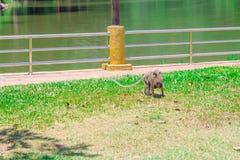 与走在与拷贝空间的草的小猴子的母亲猴子增加文本 免版税库存照片