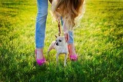 与走在日落的绿色草坪,时尚街道样式的年轻魅力女孩的逗人喜爱的奇瓦瓦狗小狗 免版税库存照片