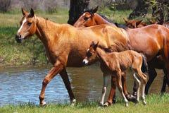 与走在沿河的草甸的一只幼小驹的马 免版税库存图片