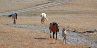 与走有跟随在怀俄明-蒙大拿的普莱尔山的两匹马的赛克斯里奇的暗褐色母马母亲的暗褐色驹 库存图片