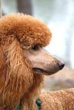 与走的鞔具的标准长卷毛狗 免版税库存照片