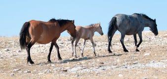 与走赛克斯里奇的暗褐色母马母亲的暗褐色驹跟随在怀俄明-蒙大拿的普莱尔山的蓝色软羊皮的主角母马 免版税库存图片