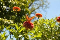 与走路通过它的在桃红色百日菊属花的翼的太阳的橙色蝴蝶在花园-被弄脏的背景里-浅focu 免版税库存图片
