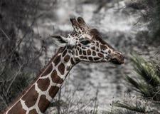 与起皱纹的鼻子的滑稽的长颈鹿 库存图片
