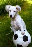 与足球橄榄球球的Dalmatin白色小狗戏剧 库存照片