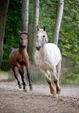 与跑在草甸的驹的阿帕卢萨马母马 图库摄影