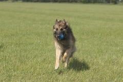 与跑在草的球的狗 免版税图库摄影