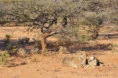 与跟踪衣领的猎豹 免版税图库摄影