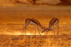 与跳羚战斗的羚羊 免版税库存图片