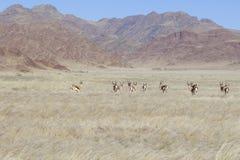 与跳羚的风景横向在纳米比亚 免版税库存照片