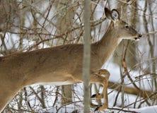 与跳跃在多雪的森林里的一头野生鹿的美好的被隔绝的图片 免版税库存图片