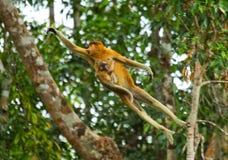 与跳跃的婴孩的母长鼻猴从树到树在密林 印度尼西亚 婆罗洲加里曼丹的海岛 图库摄影