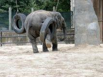 与轮胎的婴孩大象 免版税库存照片