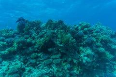 与软和坚硬珊瑚和异乎寻常的鱼anthias的珊瑚礁在大海背景的热带海,水下 库存图片