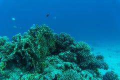 与软和坚硬珊瑚和异乎寻常的鱼anthias的珊瑚礁在大海背景的热带海,水下 免版税库存照片