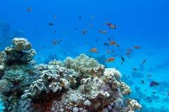 与软和坚硬珊瑚和异乎寻常的鱼anthias的珊瑚礁 免版税库存图片