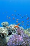 与软和坚硬珊瑚的珊瑚礁与在热带海底部的异乎寻常的鱼anthias  免版税库存图片