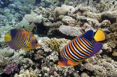 与软和坚硬珊瑚的珊瑚礁与异乎寻常的鱼 免版税库存照片