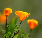 花菱草花。 免版税库存图片